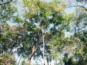 En skog pinjeträd sedda från marken mot blå klar himmel